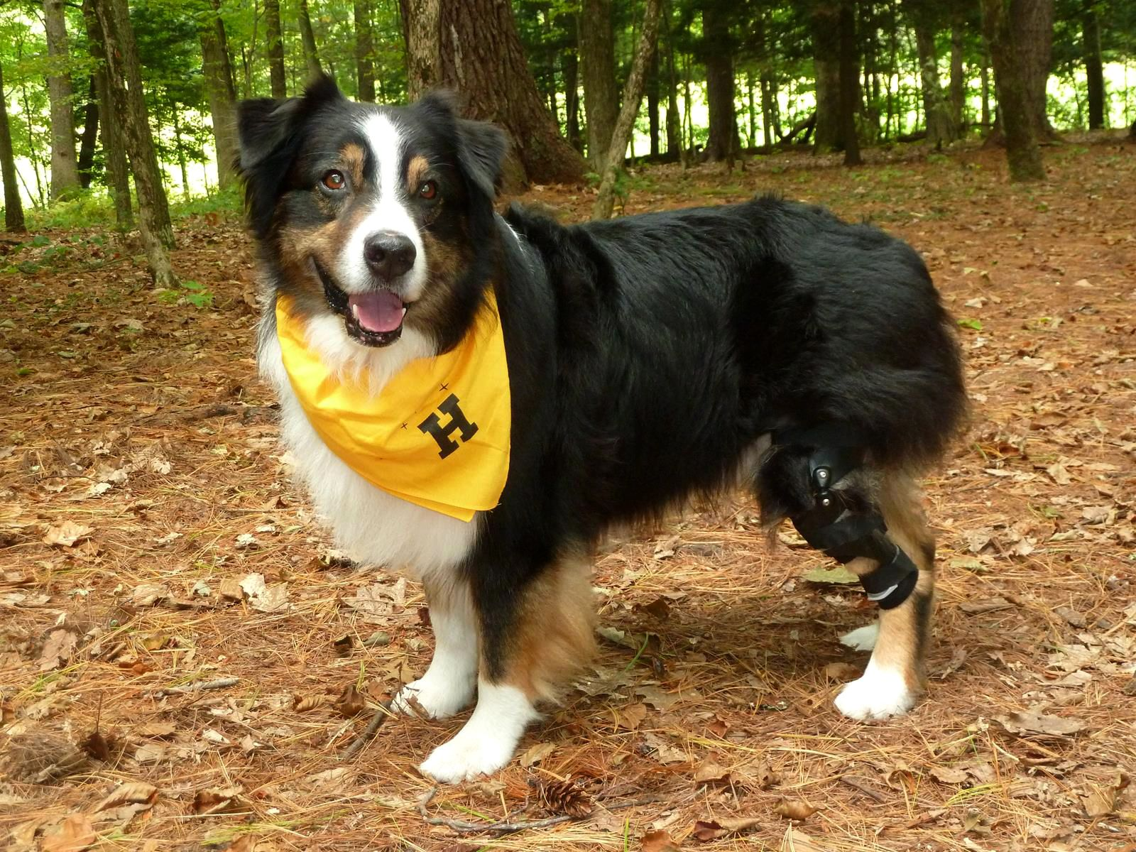 Australian shepherd wearing a dog knee brace for a cruciate tear