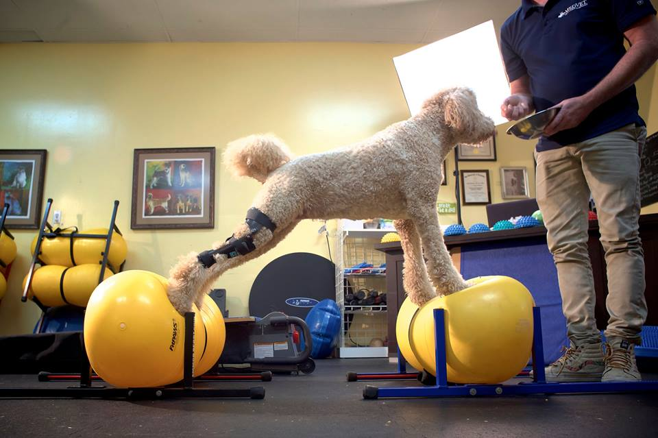 Poodle wearing a dog knee brace for a torn ACL