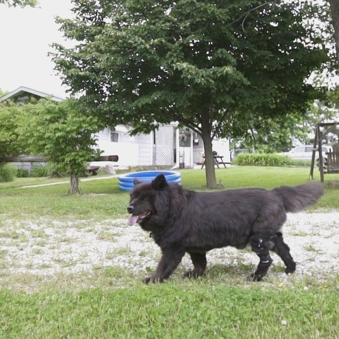 Black dog walking wearing knee brace for torn ACL