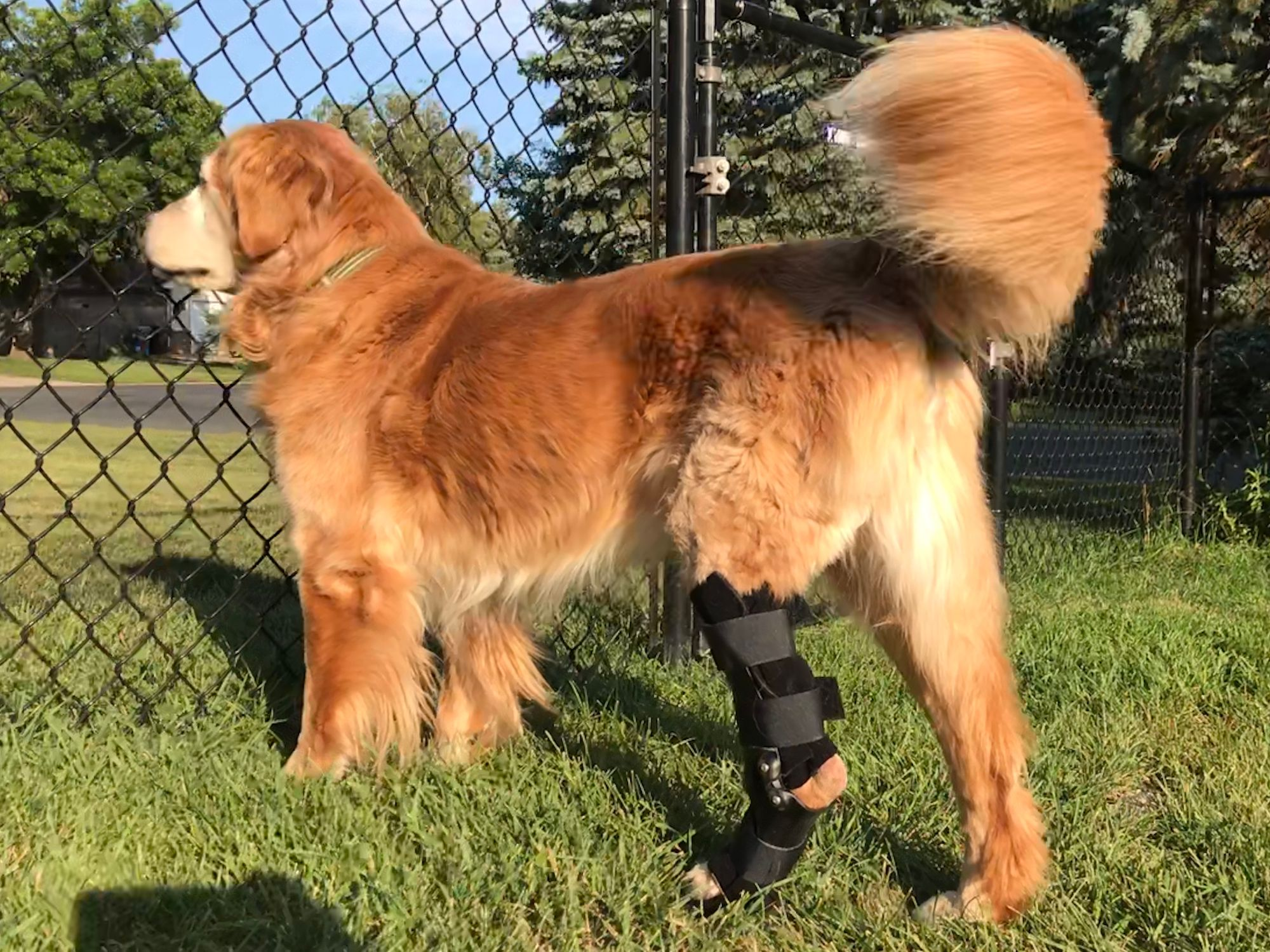 Golden Retriever looking through fence wearing an ankle brace