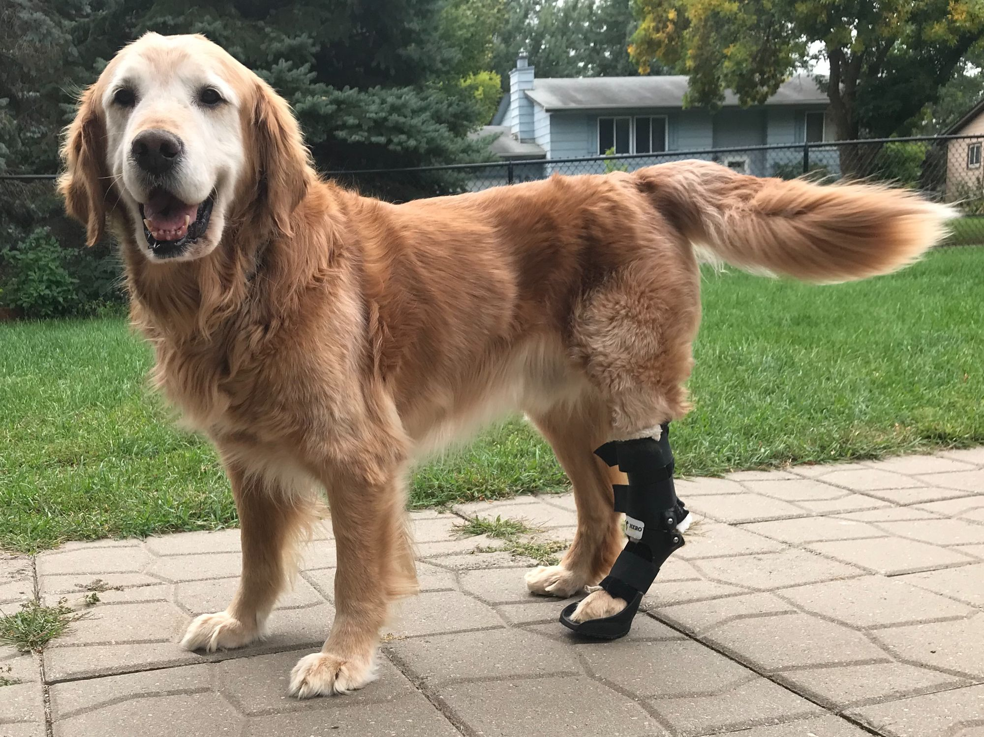 Dog with hock brace wagging his tail