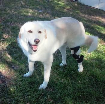 White Labrador dog wearing a knee brace for a torn ACL