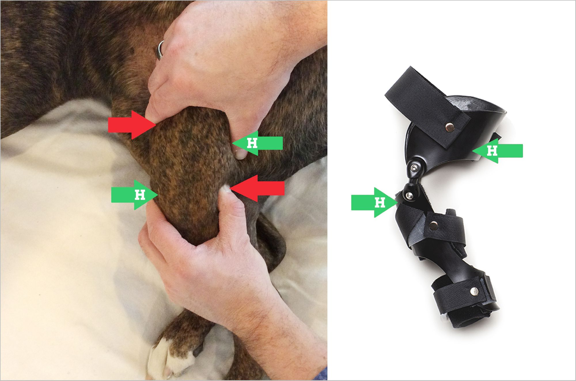 Veterinarian testing dog for cranial drawer with arrows demonstrating how a Hero Knee Brace helps a torn ACL