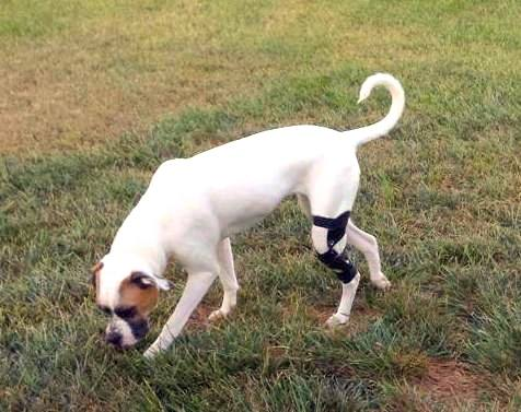 Knee brace helping a dog walk in grass