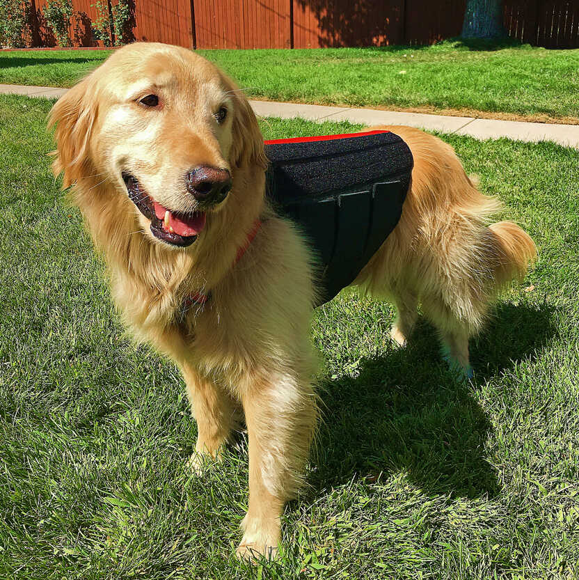 Golden Retriever wearing a WiggleLess Back Brace