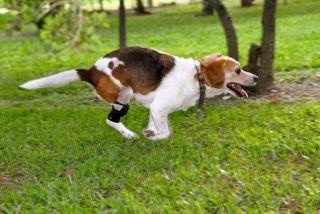 Jack Russell Terrier Dog running wearing a knee brace