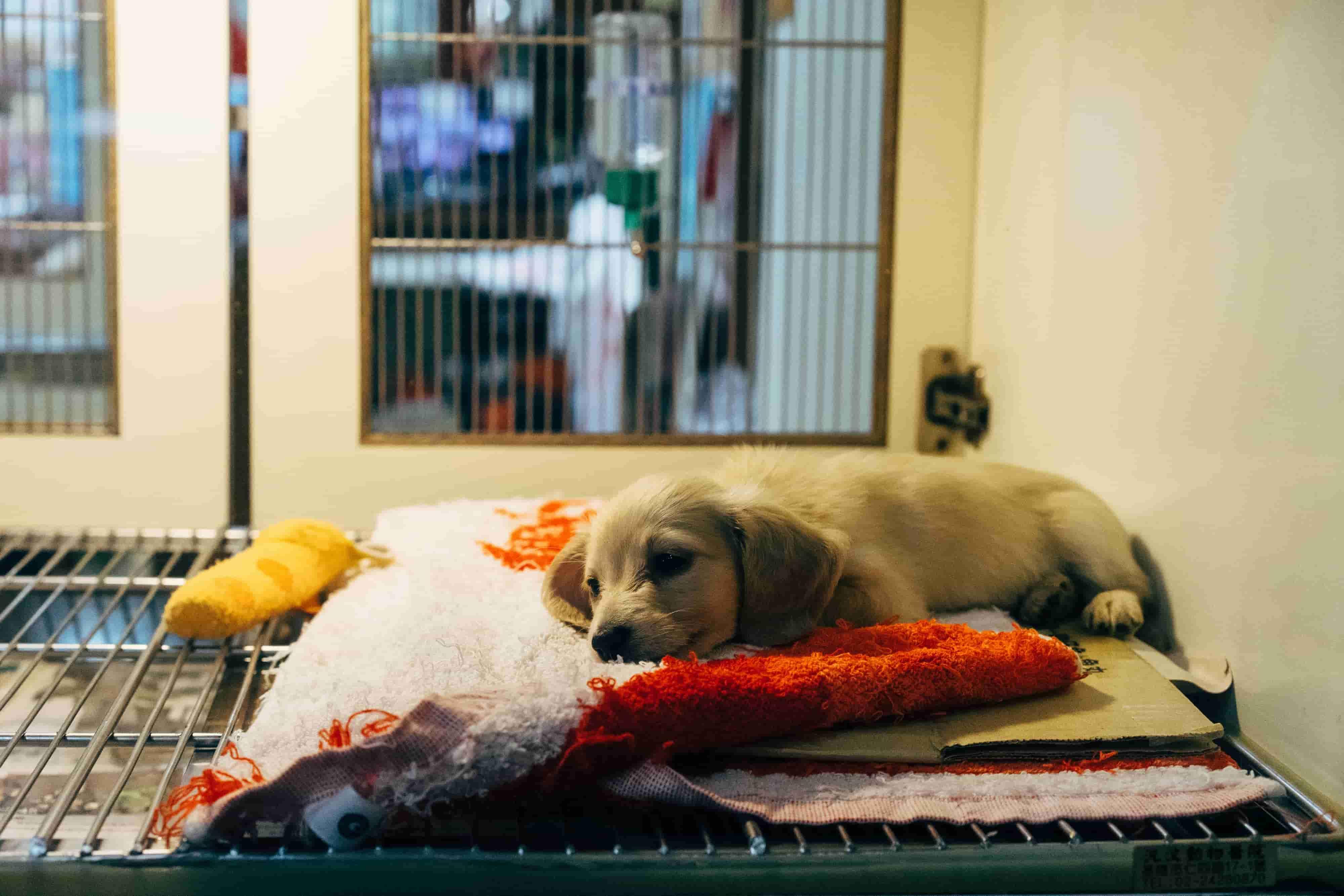 Pies z bólem czekający na operację