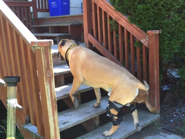 Do Knee Braces Help Dogs?